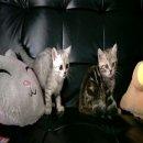ลูกแมวสก๊อตติสโฟล์ หูตั้ง สามารถจดทะเบียน SCFC GEN1 ได้ครับ