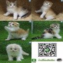 ((✅เปิดจอง))..ลูกแมวสก็อตทิชโฟลด์ Scottish Fold 😻
