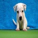 ลูกแจ็ค รัสเซล เทอเรีย (jack russell terrier) เพศผู้ น้องบัวขาว