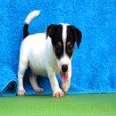 ลูกแจ็ค รัสเซล เทอเรีย (jack russell terrier) เพศผู้ น้องอองตวน
