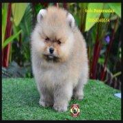 ซินเซีย มีคลิปขายลูกสุนัขปอมเมอเรเนี่ยนสวยๆ รับประกันสุขภาพ และริการหลังการขาย