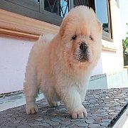 ลูกสุนัข เชาเชา เพศผู้ สีครีม 42 วัน