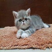 **เปิดจอง ** ลูกแมว Exotic SH (น้องคิงคอง) ลูกครึ่งCFA