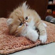 **เปิดจอง ** ลูกแมว Exotic SH (น้องเฟอร์บี้) ลูกครึ่งCFA