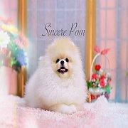 ***ซินเซีย ปอม มีคลิปขายลูกสุนัขปอมเมอเรเนี่ยนสวยๆ รับประกันสุขภาพ และบริการหลังการขาย