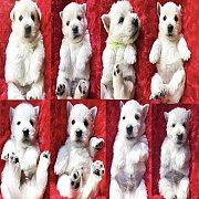 ขายลูกสุนัขเวสตี้ สายเลือดแชมป์ พ่อพันธุ์นำเข้า สุขภาพแข็งแรง พร้อมใบเพ็ดดีกรีและวัคซีนชุดแรกค่ะ