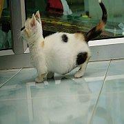 ขายแมวขาสั้น Munchkin cat แมวขาสั้้น เพศเมีย