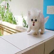 หาบ้านให้ลูกแมวเปอร์เซีย ชินชิล่าซิลเว่อร์แท้ๆ แท้ล้าน%