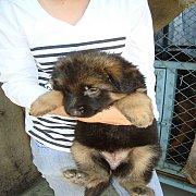 ขายด่วน!!!เพียง3ตัว ลูกสุนัขอาเซเชี่ยนแท้(เยอรมันเชฟเฟริด)น่ารักแข็งแรงจากพ่อพันธุ์ แม่พันธุ์ สวยๆ