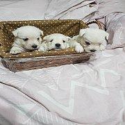 ขายลูกสนัข พันธุ์west hughland white terrier แท้ 100%