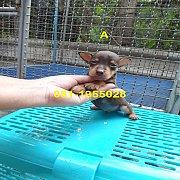 มิเนียเจอร์( หมากระเป๋า ) สวย สีช็อคโกแลต 2 ตัว หายาก โทร.081-1955028