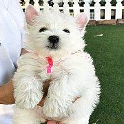 ลูกสุนัขเวสตี้พร้อมใบเพ็ดดีกรีและวัคซีนชุดแรก พร้อมย้ายบ้านค่ะ