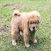 ลูกสุนัข เชาเชา 52 วัน อ้วนๆ น่ารักๆ