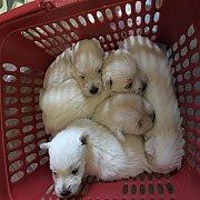 ขายลูกสุนัขเวสตี้ สายอินเตอร์แชมป์ ติดต่อ 0812691137 ขนแน่นน่ารัก ราคากันเอง