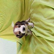 ขายลูกสุนัขบีเกิ้ลแท้ผู้3อายุ45วันตัวละ3500