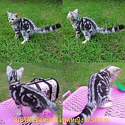 ลูกแมวสายพันธุ์พร้อมย้ายบ้าน ราคาพิเศษ 5,500-10,000บาท