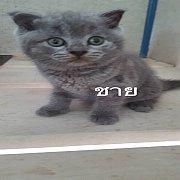 น้องแมวสก็้อตติชเซ็ตใหม่ น่ารักๆจ้า