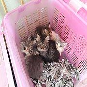 ขายแมวเปอเซียแท้เกรดคุณภาพผู้เมียอายุ45วันตัวละ2500