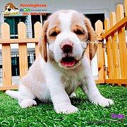 บีเกิ้ล Beagle BATMAN