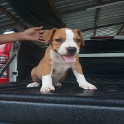 ขายลูกสุนัขบลูลี่แท้ผู้1เมีย1อายุ40วันตัวละ4900