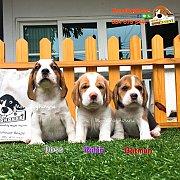 บีเกิ้ล Beagle Monodoghouse