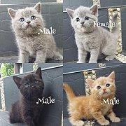 น้องแมว สก็อสติส พ่อ บริสติส หาบ้าน มีหลายตัวหลายสี ให้เลือกค่ะ  ตัวจริงสวยกว่าในรูป