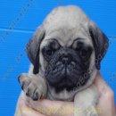 พร้อมแล้ว ลูกสุนัขพันธุ์ ปั๊ก PUG เพศผู้ สายเลือดแชมป์ เกรดคุณภาพ จาก BogBogBog Kennel