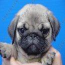 ชุดใหม่พร้อมแล้ว ลูกสุนัขพันธุ์ ปั๊ก PUG เพศผู้ ลูกไทยแชมป์ เกรดคุณภาพ จาก BogBogBog Kennel
