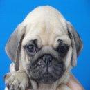 จำหน่ายลูกสุนัขพันธุ์ ปั๊ก PUG สายเลือดแชมป์ เกรดคุณภาพ จาก BogBogBog Kennel.