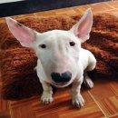 ขายลูกสุนัขพันธุ์บลูเทอร์เรีย (Bullterrier)