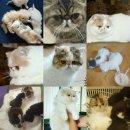 แบ่งจำหน่าย ลูกแมวเอ็กโซติกช๊อตแฮร์