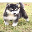 น้องหมาไซบีเรียน ขนวู๊ลลี่ ผู้ 4 สีขาวดำ น่ารัก สุขภาพแข็งแรง ราคาไม่แพง พร้อมจัดส่ง