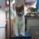 ลูกสุนัขบางแก้วแท้ สายแชมป์คอก ลูกรักไทย (หลาน Th.Ch.ลายทอง) เหลือ 3 ตัวแล้ว