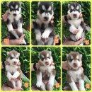 เปิดจองลูกสุนัขไซบีเรียน สายเลือดแชมป์ มีใบเพดเต็มใบ ราคา 8,000-10,000