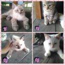น้องแมวลูกผสมเปอร์เซีย