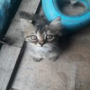 ลูกแมวเปอร์เซียผสม