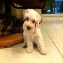 ลูกสุนัขมินิเอเจอร์ชเนาเซอร์+ใบเพ็ดดิกรี พร้อมย้ายบ้านค่ะ