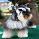 ขายลูกสุนัข ชเนาเซอร์ พันธ์แท้ MINIATURE SCHNAUZER มีใบเพ็ด