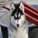 ขาย หมาไซบีเรียน สวยๆกทม สะพานพุท มารับเอง ลดได้ครับ .