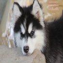 ขาย ไซบีเรียน ฮัสกี้,  กทม  มารับเองลดได้ครับ มีใบเพตดีกีรับลอง ขาย หมาไซบีเรียน สวยๆกทม สะพานพุท