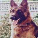 เปิดจองลูกสุนัขเยอรมันเชพเพิร์ด พ่อพันธุ์จากเยอรมัน