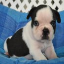เฟรนซ์บลูด็อก French bulldog เพศผู้ สีขาวดำ 2 ตัวค่ะ