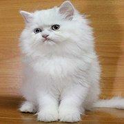 ลูกแมวเปอร์เซียสีขาว เพศหญิง