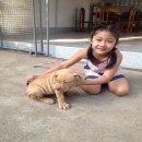 ลูกสุนัขพิทบูล 12,000 บาท (Thailand pitbull puppy, the price $375 usd)