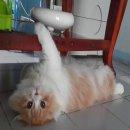 พ่อพันธุ์แมวสก๊อตติสโฟร์หูพับขนยาว