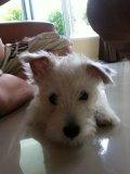 ขายลูกสุนัข Westie เพศผู้ 1 ตัว อายุ 3 เดือน วัคซีนครบ เพ็ดเต็มใบ ราคา 13,000 บาท+++
