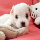 ขายลูกสุนัขมอลทีส100%(Maltese)