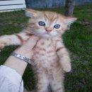 เปิดจอง ลูกแมว British shorthairแท้    (15-พย-2559)