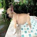 สุนัขเฟร้นบลูด๊อก เพศผู้ สีน้ำตาลอ่อน พร้อมใบเพ็ดดีกรีจากสมาคมสุนัขแห่งประเทศไทยแบบเต็มใบ