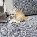 เปิดจอง ลูกแมว Scottish Fold เพศชาย หูพับ สายพันธุ์แท้ พร้อมใบเซอร์